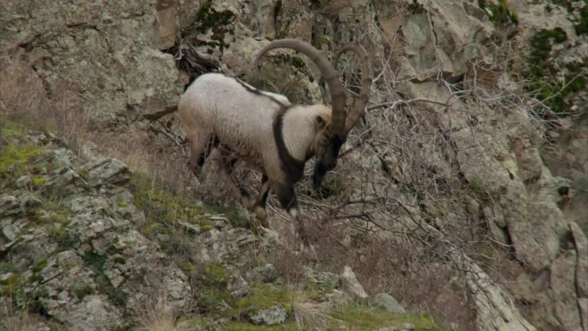 Bezoar goat, or bearded goat (lat. Capra aegagrus) is a cloven-hoofed mammal of the family of bovids (Bovidae). It is the ancestor of the domestic goat.