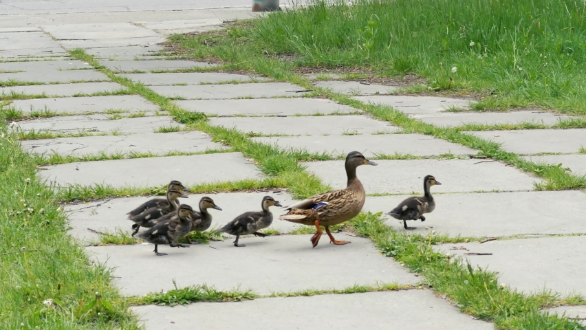 Mother duck crosses the road with ducklings. Summer motherhood scene. Family concept 4k