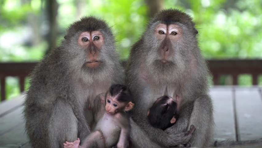 Two mothers monkeys talk and keep in hands their little cute babies. Wildlife in Bali, Indonesia. Sacred Monkey Forest in Ubud. Royalty-Free Stock Footage #1061471377