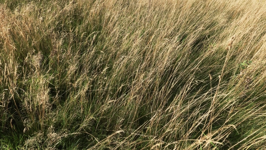 4k footage of tall yellow grass swaying in the wind on a cold autumn day. | Shutterstock HD Video #1061474689
