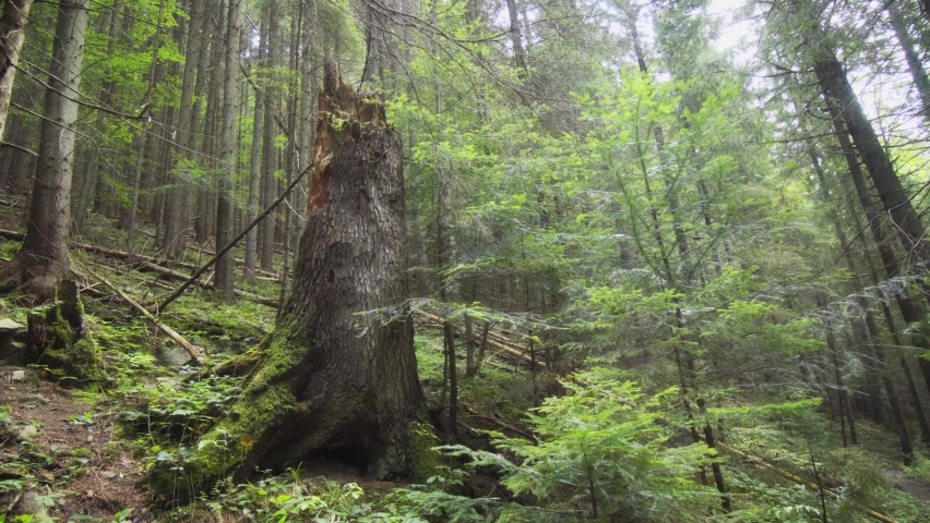 Big old spruce stump in the wild forest. 4k stock footage | Shutterstock HD Video #1061476945