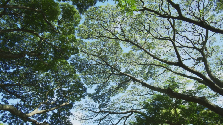 The high. leafy crowns of mature. African trees. growing wild and spread against the blue sky in Mauritius. 4k UltraHD video | Shutterstock HD Video #1061477056