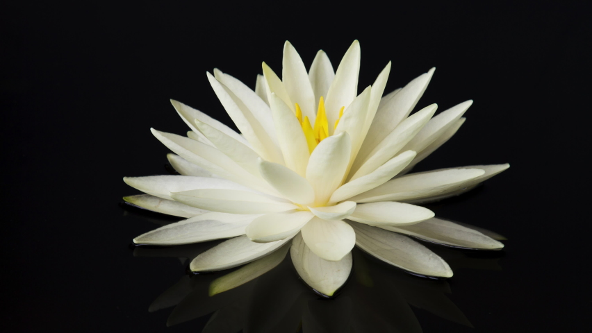 Time lapse of white lotus water lily flower opening in pond, waterlily blooming Royalty-Free Stock Footage #1061492050