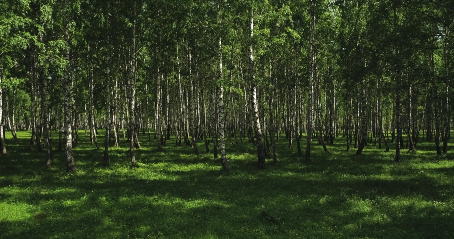 Birch forest with green grass / fast moving in forest. Inside dolly wide mid view at summer sunny sunset Royalty-Free Stock Footage #1061493787