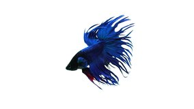 Slow motion of Betta fish, siamese fighting fish isolated on white background.