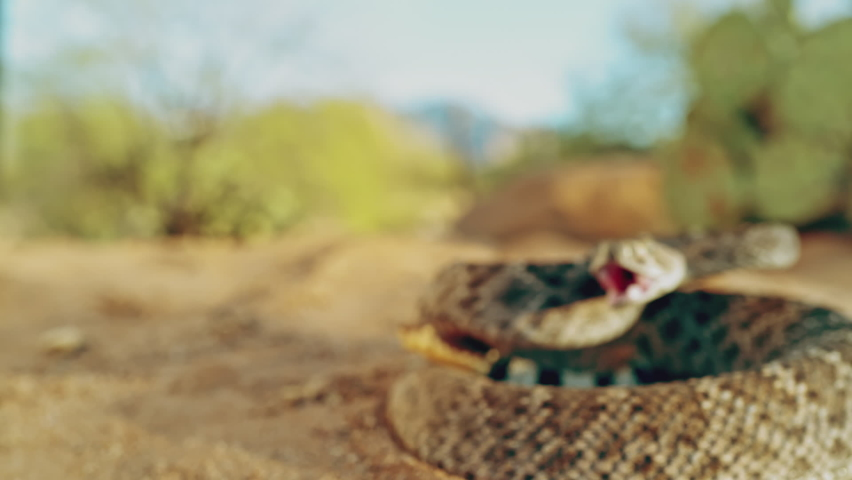 A coiled snake lunging for a bite in slow motion | Shutterstock HD Video #1061522464