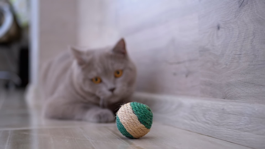 Beautiful Gray British Cat Plays with a Ball on Floor. Playful, Active Pet. Thoroughbred cat with large brown eyes, long whiskers, and powerful paws. Pet games. 4k. 180fp Royalty-Free Stock Footage #1061539390