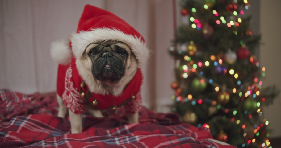 Funny cute pug dog dressed in red Christmas sweater and Santa Claus hat at home. Looking at the camera. Christmas tree background. Christmas night. Ready to celebrate, want presents. Home cosiness | Shutterstock HD Video #1061552491
