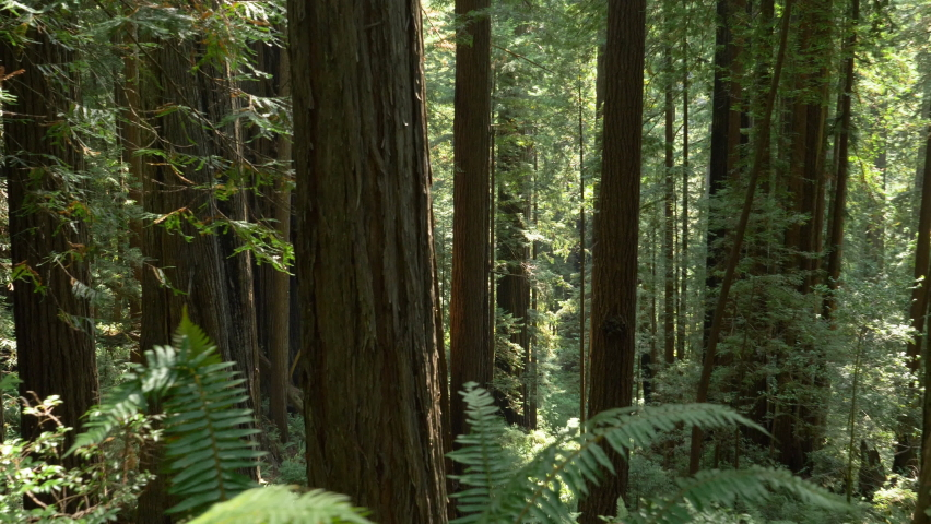 Walking through a redwood forest as the sun passes through the tall redwood trees with lots of light rays as well as greens and browns. Moving camera through dense, old growth  woods.