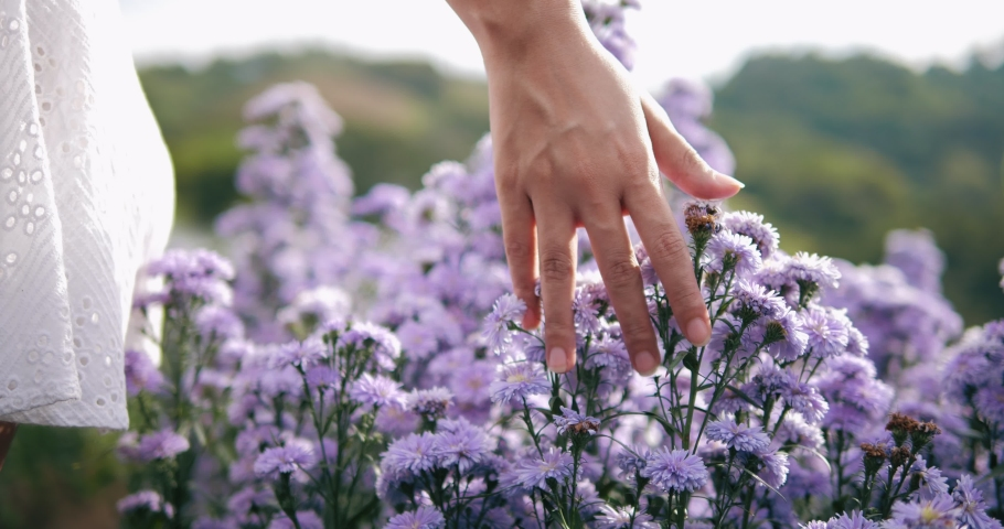 Hand of woman tenderly touches the tops of Margaret purple flower field. View of field of large blooming of Margaret flowers. Sun's rays are purple plant. Relax. Royalty-Free Stock Footage #1061626066