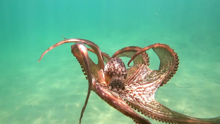 Wild octopus swimming in slow motion underwater. An octopus open arms slowly like dancing under water in the mediterranean sea. One octopus at the sea. Wild Octopuses.   Shutterstock HD Video #1061678929