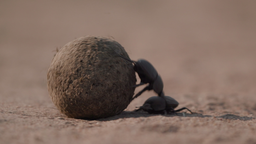Dung beetle rolling a large dung ball | Shutterstock HD Video #1061711053