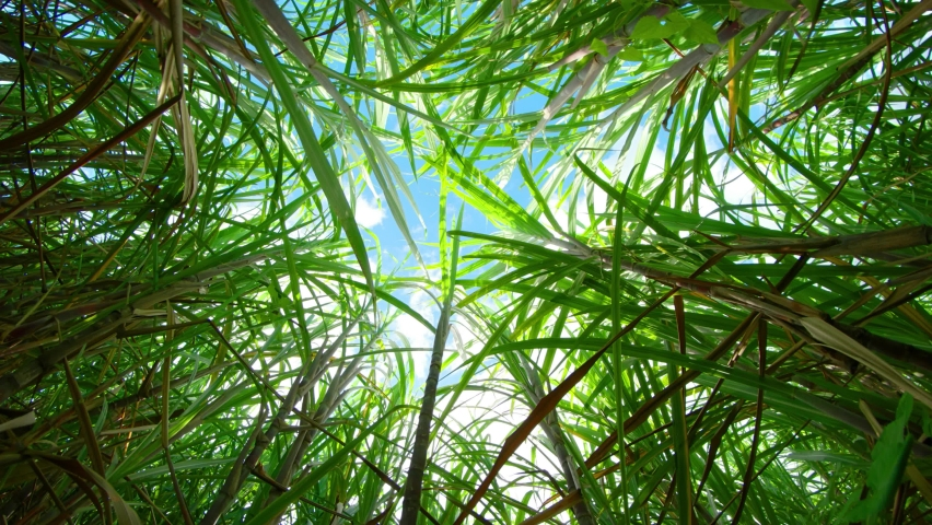 View of a blue sky. filtered through the overhead leaves of sugarcane. on a plantation in Mauritius. | Shutterstock HD Video #1061717041