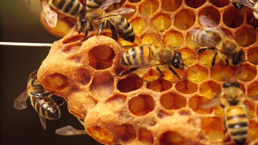 Queen cells along the edges of the combs, Swarm Cells. Swarming, Hive is preparing to swarm. Beekeeping (or apiculture). Bee colony in hive Royalty-Free Stock Footage #1061728153