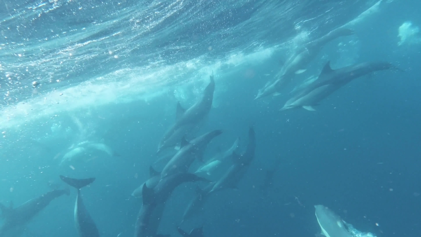 Beautifull footage of Dolphins swimming in the Sea Catching forage fish, Beautifull footage of Dolphins, Pod of Dolphins  Royalty-Free Stock Footage #1061749456