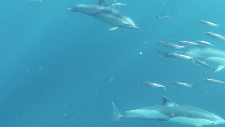 Beautifull footage of Dolphins swimming in the Sea Catching forage fish, Beautifull footage of Dolphins, Pod of Dolphins  #1061749462