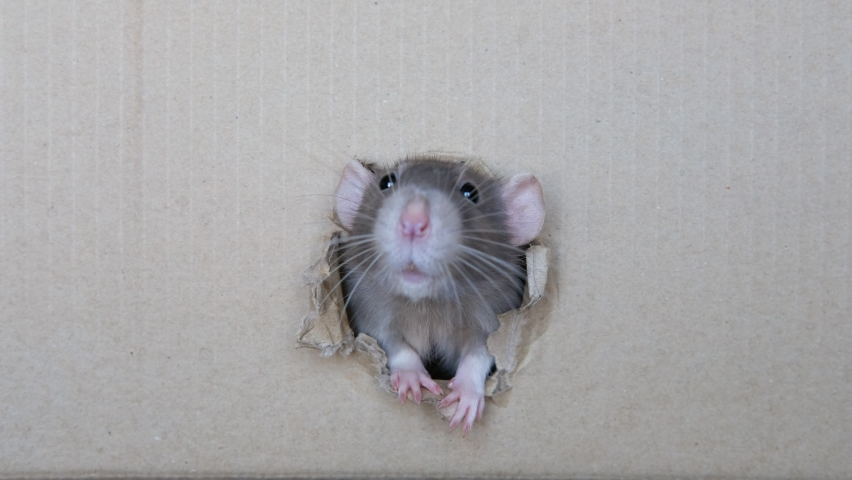 Curious domestic cute home rat looking / peeking out of a hole in a box