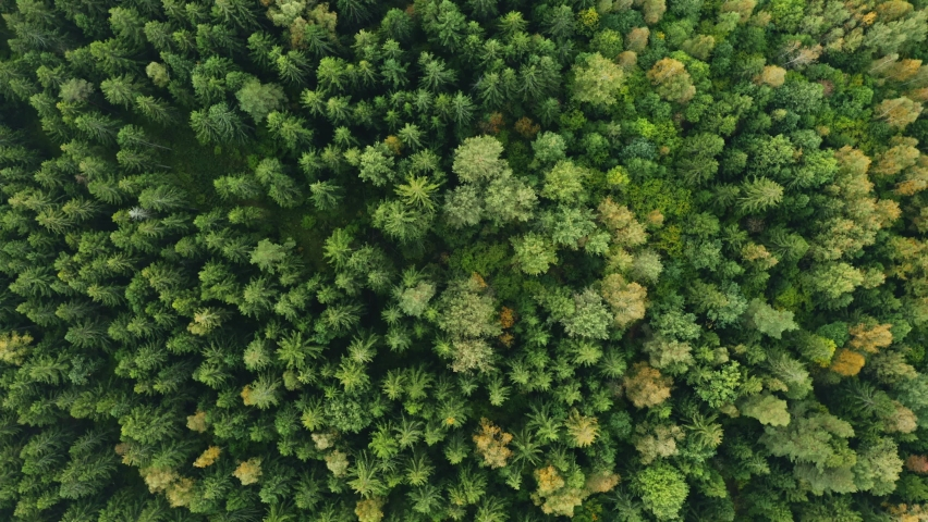 Top down view of autumn forest, fall woodland aerial shot. Drone fly over pine trees and yellow treetops. Zoom out and spin colorful texture in nature. Flight over woods, natural background in motion