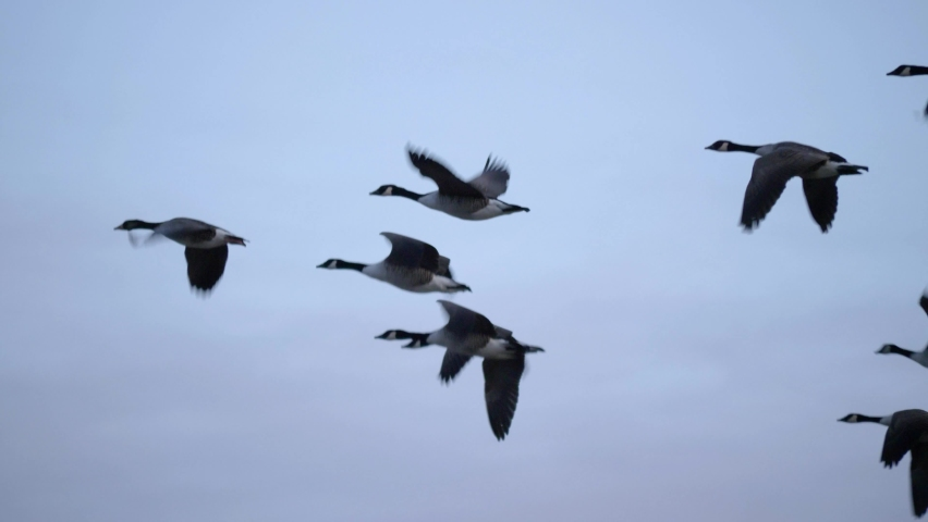 Wild geese flying in V formation - Close up tracking long shot