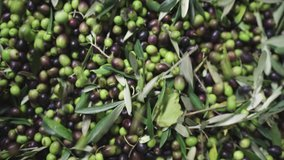 4K footage of raining just collected green and black olives crop falling in olive oil press machine reservoir. Agriculture and olive oil manufacturing eco food concept video.