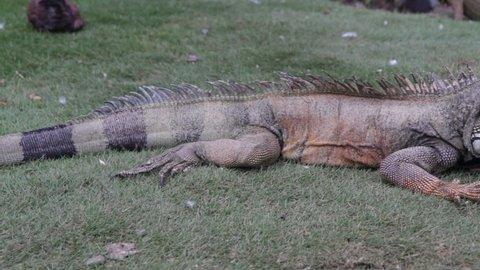 Iguanas in a park of Guayaquil, Ecuador - Closeup of wildlife animals in South America - Green lizard walking freely in Parque Seminario