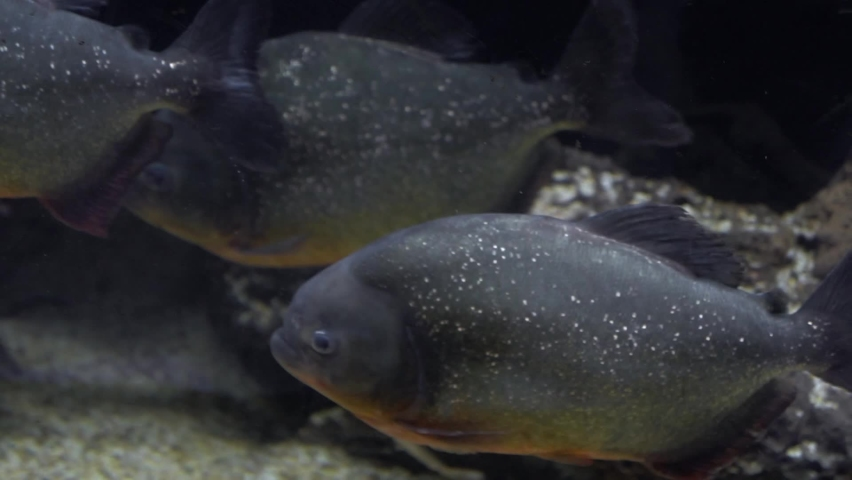 Several piranhas swim in the water. Pygocentrus nattereri | Shutterstock HD Video #1061912314