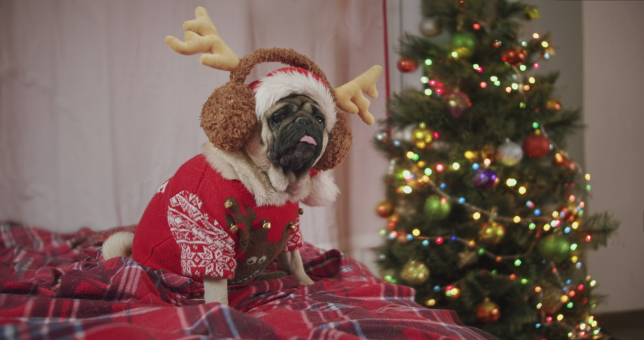 Funny cute pug dog dressed holiday red Christmas reindeer antlers and cute sweater. Funny react to owner, turning around. Dog Christmas fun concept | Shutterstock HD Video #1061921794