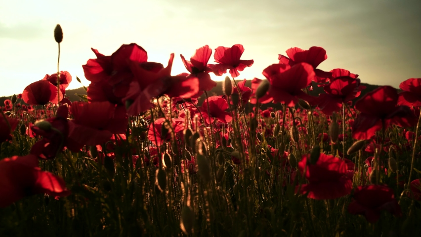 Anzac day. Poppy field in full bloom against sunlight. The remembrance poppy appeal. Memorial Day in New Zealand, Australia, Canada and Great Britain | Shutterstock HD Video #1061931613