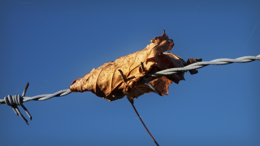 Leaf caught on Barbed wire stock footage