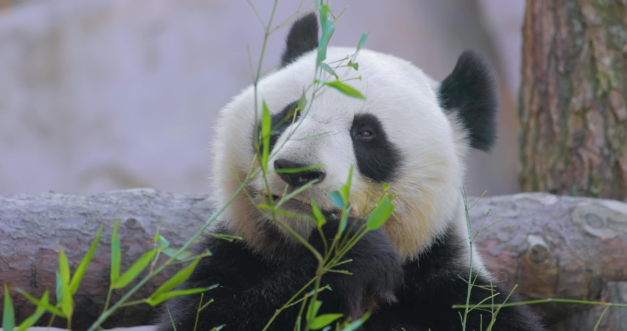 Giant panda (Ailuropoda melanoleuca) also known as the panda bear or simply the panda, is a bear native to south central China.