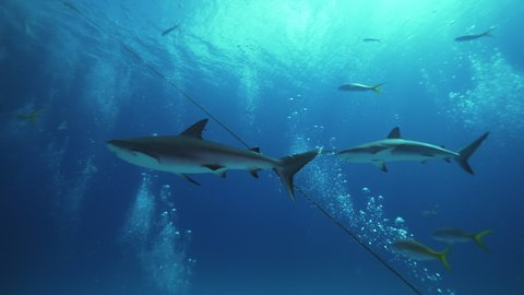 Underwater, pov, a school of sharks swims over a group of scuba divers, The Bahamas