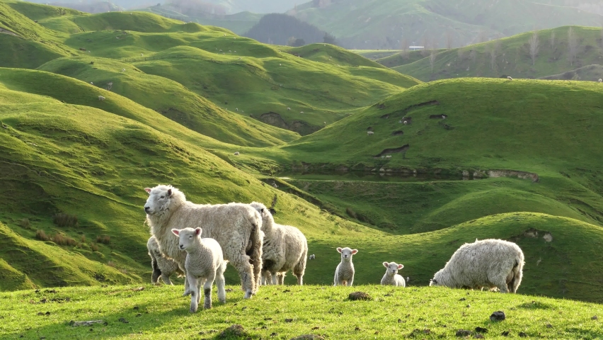 Big group of sheep and lambs on scenic countryside. New Zealand.
