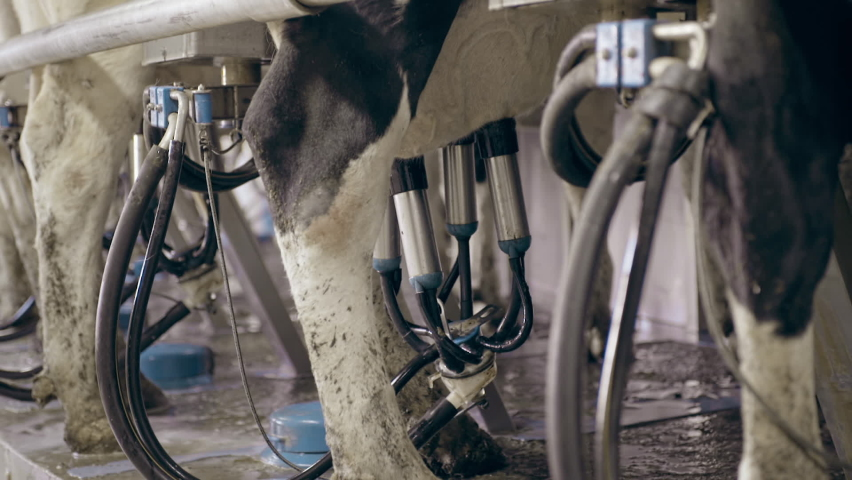 The process of cows getting milked at a dairy factory. Technologically advanced modern farm. An automatic cow milking machine is being used. Dairy Industry. Milking clusters working.