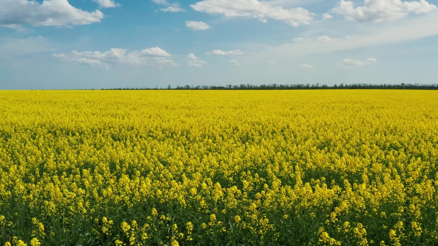 Blooming rapeseed field on a sunny day. Aerial photography, drone, bird's eye view. The wind flutters the yellow rapeseed flowers. Rich harvest of blooming yellow rapeseed with blue sky and clouds. Royalty-Free Stock Footage #1062132790