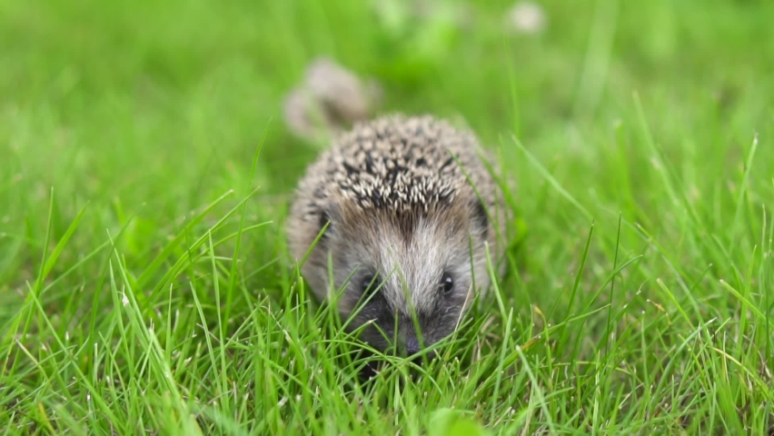 The hedgehog runs around in the grass. A wild animal in a green lawn is on the loose. High quality FullHD footage