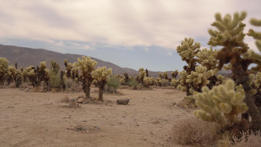 Joshua Tree National Park Cholla Garden Colorado Desert California USA