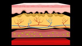 Skin layers anatomy, animation. Structure parts separation, dermis, epidermis, hypodermis, subcutaneous tissue, muscle. Hairless Diagram. Cross section. Transparent Alpha background. Medical video