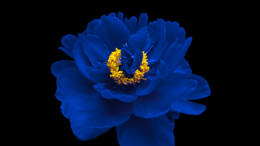 Timelapse of spectacular beautiful blue peony flower blooming on black background. Blooming peony flower open, time lapse, close-up Royalty-Free Stock Footage #1062261427