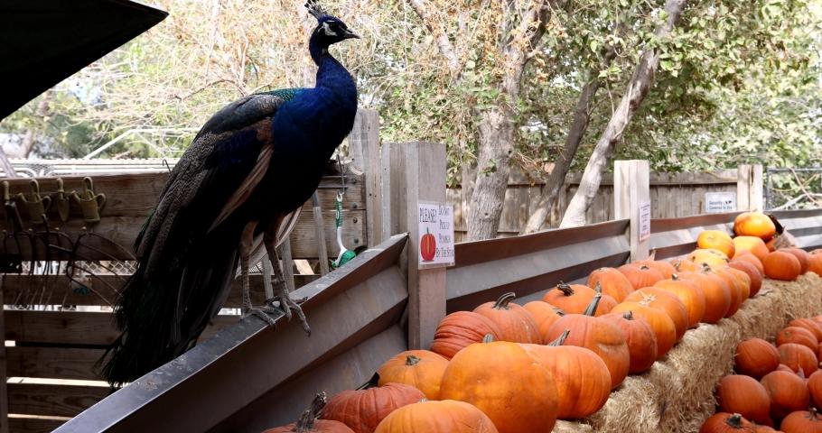 Peacock walking in the Las Vegas Farm at Las Vegas, Nevada   Shutterstock HD Video #1062317224