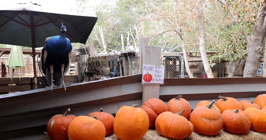 Peacock walking in the Las Vegas Farm at Las Vegas, Nevada   Shutterstock HD Video #1062317233