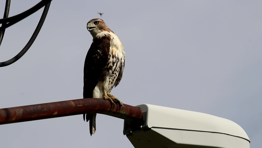 Red tailed hawk urban predatory bird perched on street lamp post