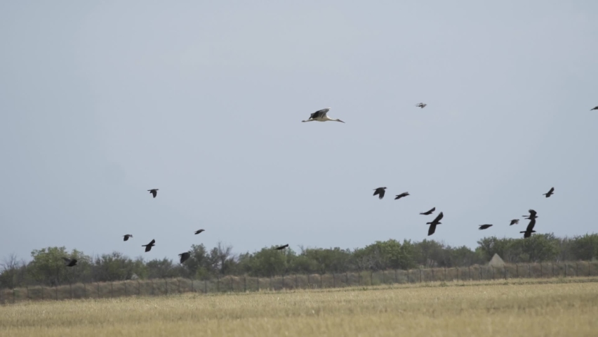 Black and white crane flies against the sky with flocks of birds