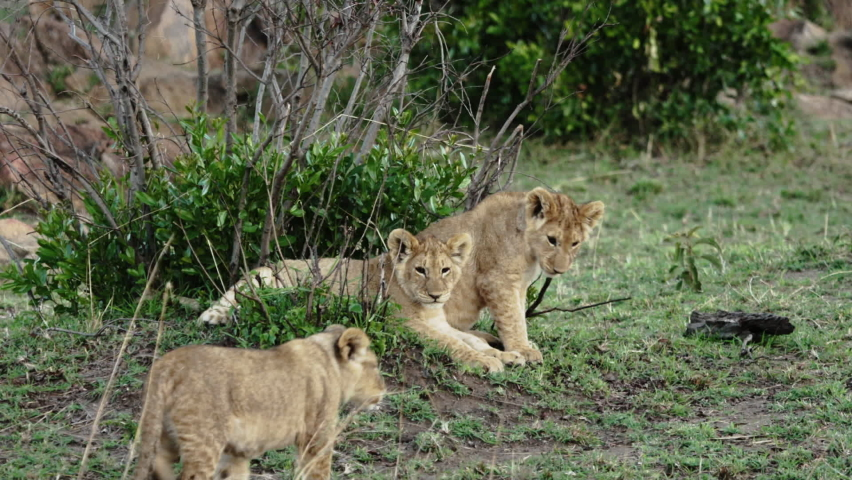 A pride of African lioness with several cubs play after hunting. Lion, head of the pride, roars at the cubs. Wild savanna Safari in the Maasai Mara National reserve in Kenya, near Serengeti Park. Royalty-Free Stock Footage #1062436315
