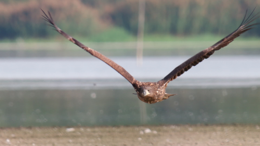 White-tailed Sea Eagle flying over a lake in slow motion.
