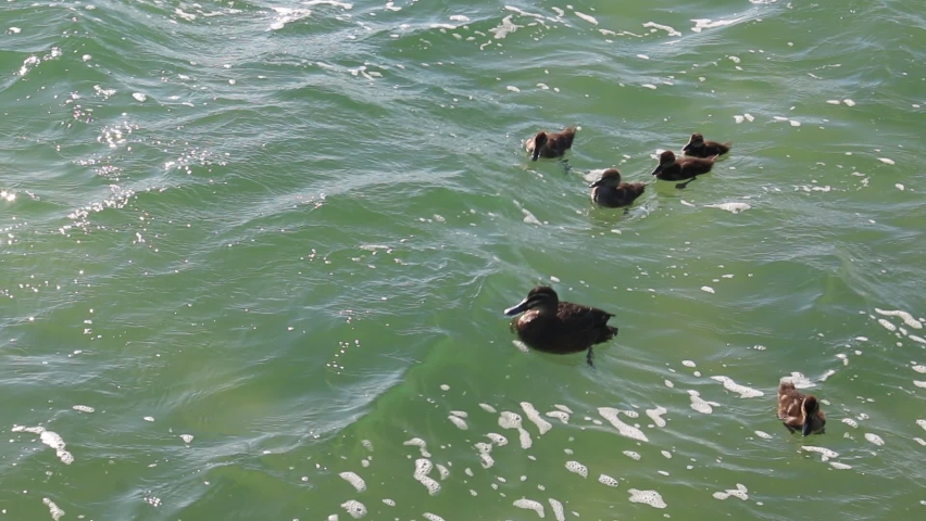 Five little ducks following their mother swimming on a lake in spring