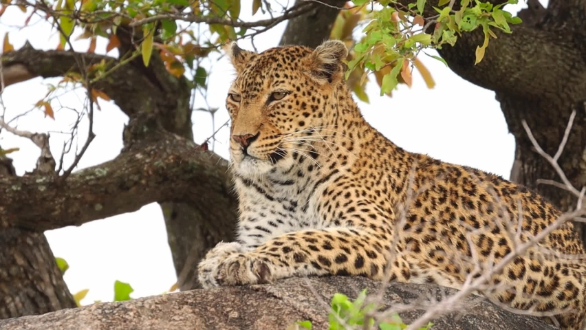 Medium shot of a leopard resting in a tree, Kruger National Park. Royalty-Free Stock Footage #1062592588