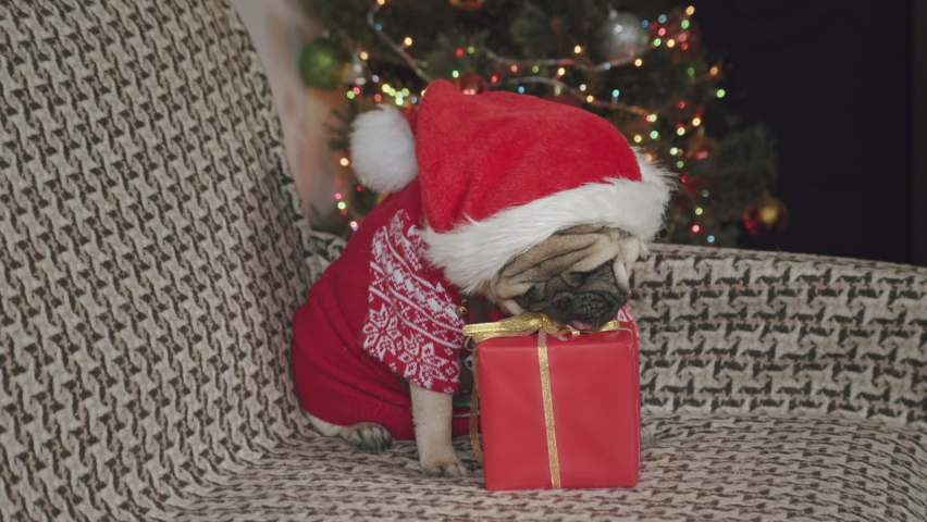 Funny scene with cute pug dog and Christmas gift. Cute pug dog sniffing present, want to open it, looking at the camera seriously, displeased sullenly. Funny look.  Funny Christmas dog concept  | Shutterstock HD Video #1062639085