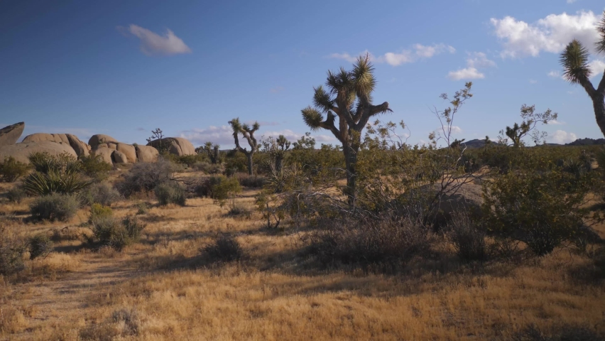 Yucca trees at the Joshua Tree National Park California with distant rock formations, Walking stable reveal shot