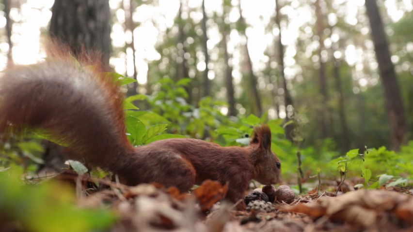 A funny squirrel in the forest collects walnuts.  | Shutterstock HD Video #1062663055
