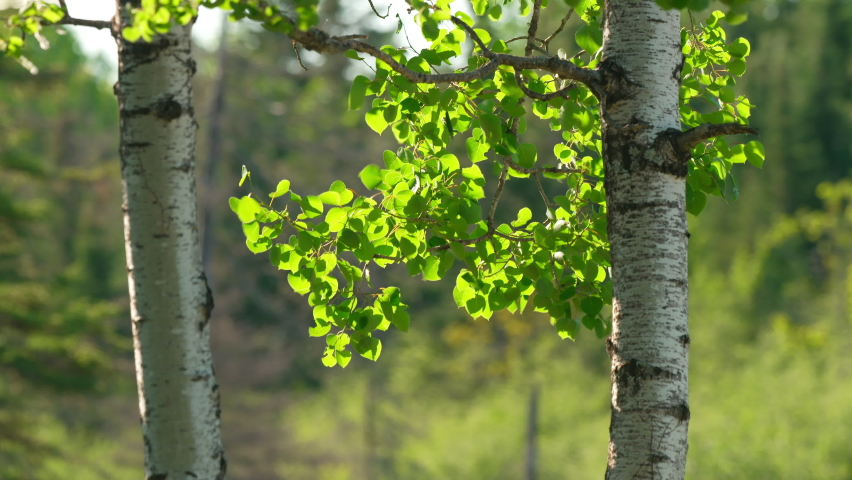 Well composed shot of birch trees and birch leaves blowing in wind in spring. Royalty-Free Stock Footage #1062689296